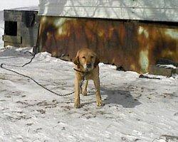 Help Chained Dogs This Valentine's Day