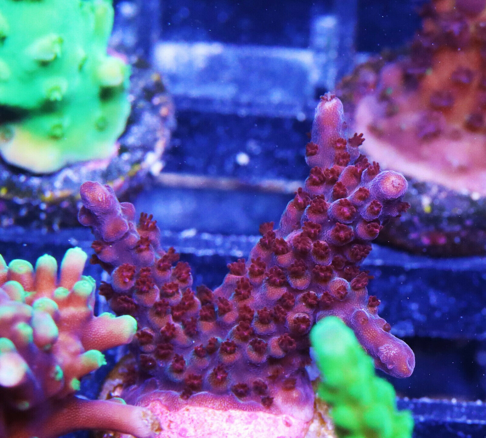 Rainbow Fusion Acro Acropora Zoanthids Zoa SPS LPS Soft