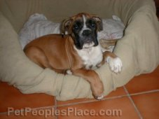 Boxer Puppy in Bed