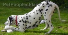 Dalmatian Playing with Bone