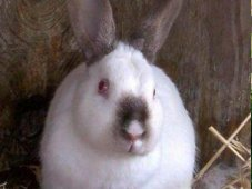 Rabbit Breed Profiles