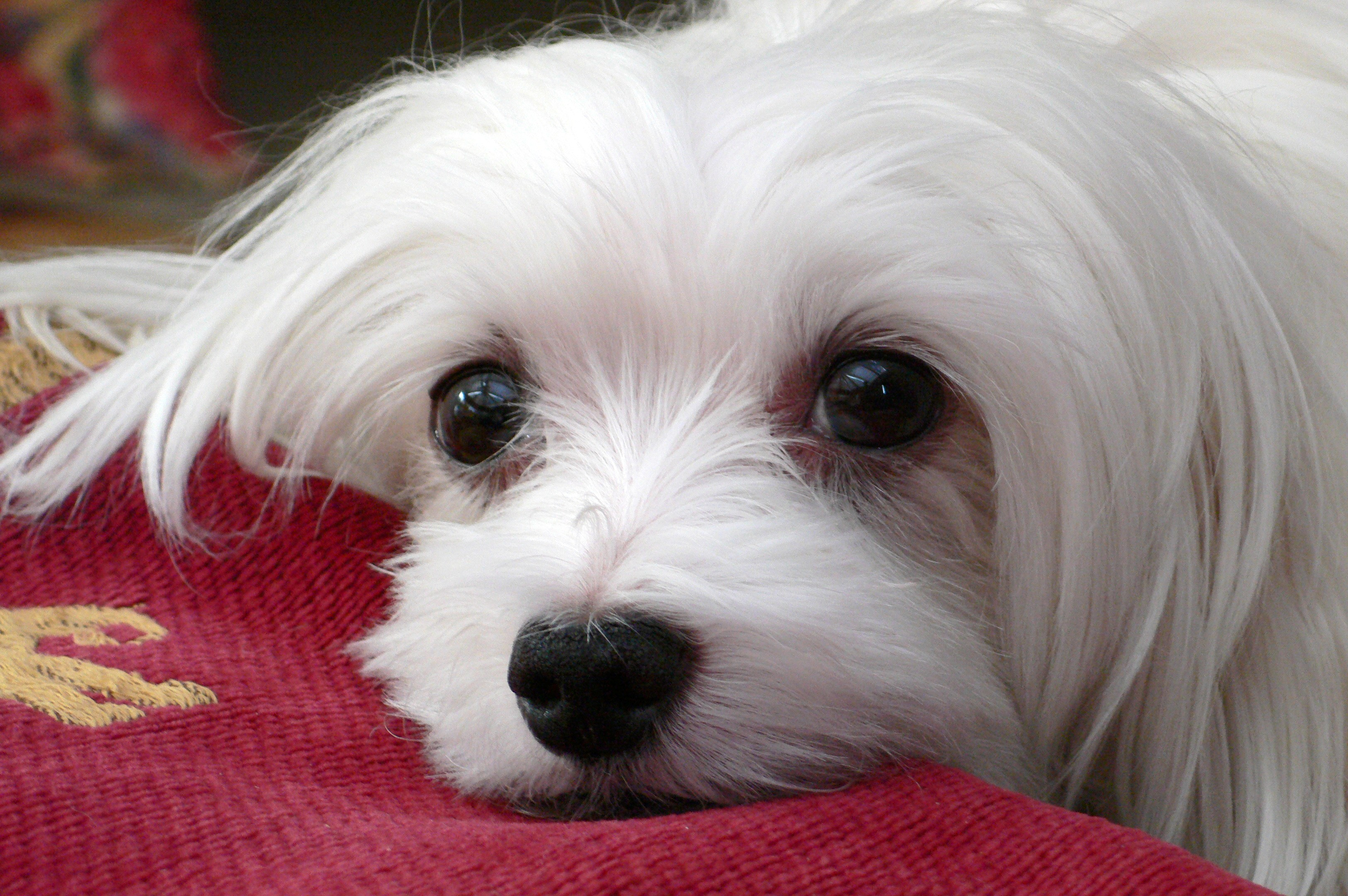 Maltese Dog Picture #1699   Pet Gallery   PetPeoplesPlace.com