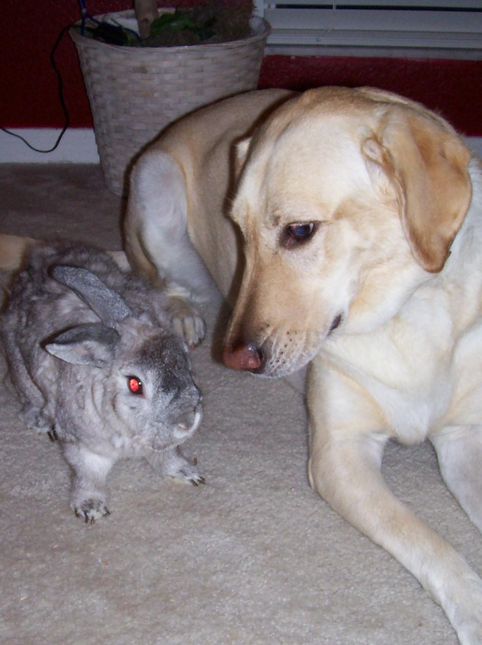 American Chinchilla Rabbit Colors American Chinchilla Rabbit