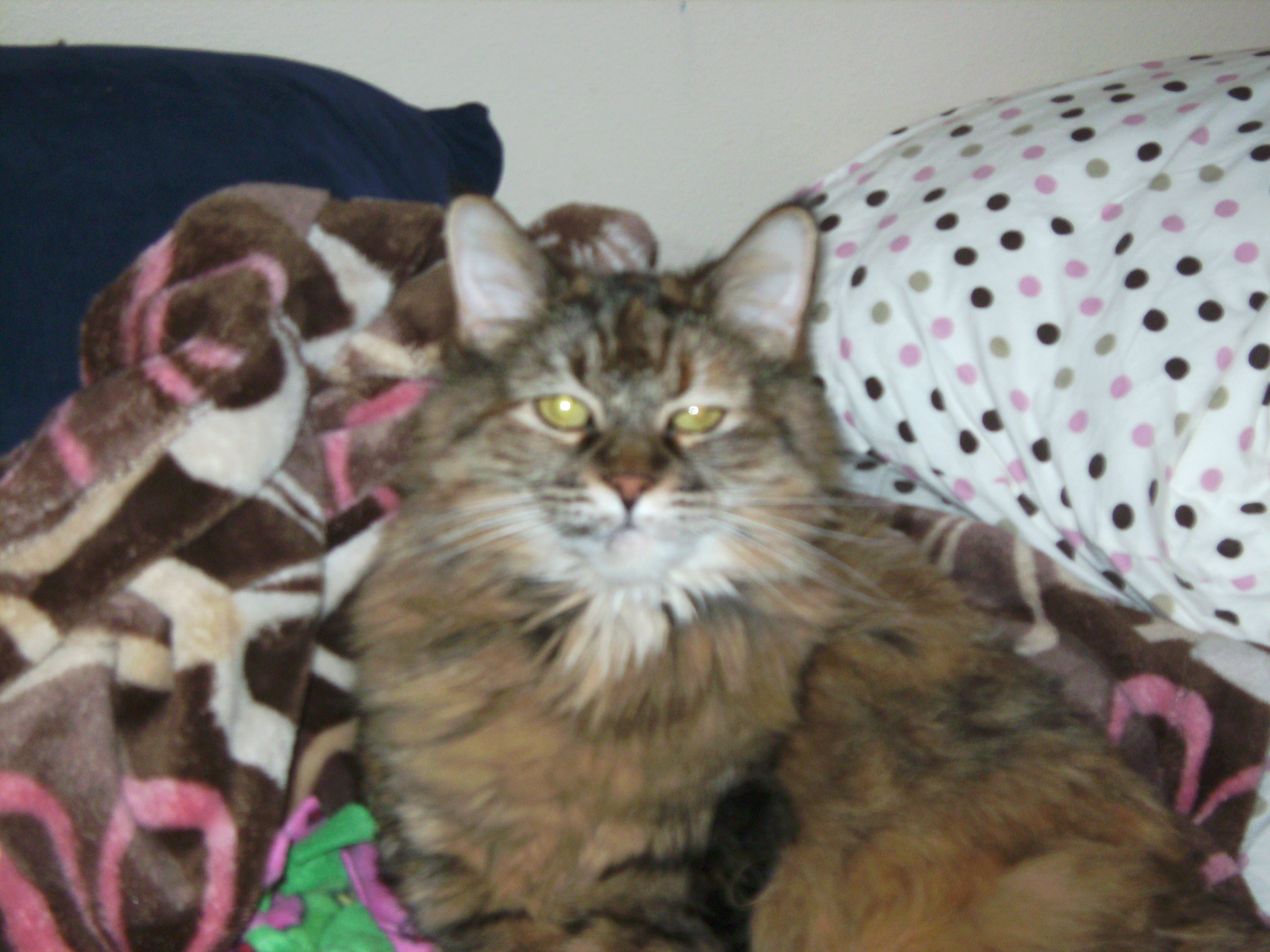 American Bobtail Cat Picture 3029 Pet Gallery