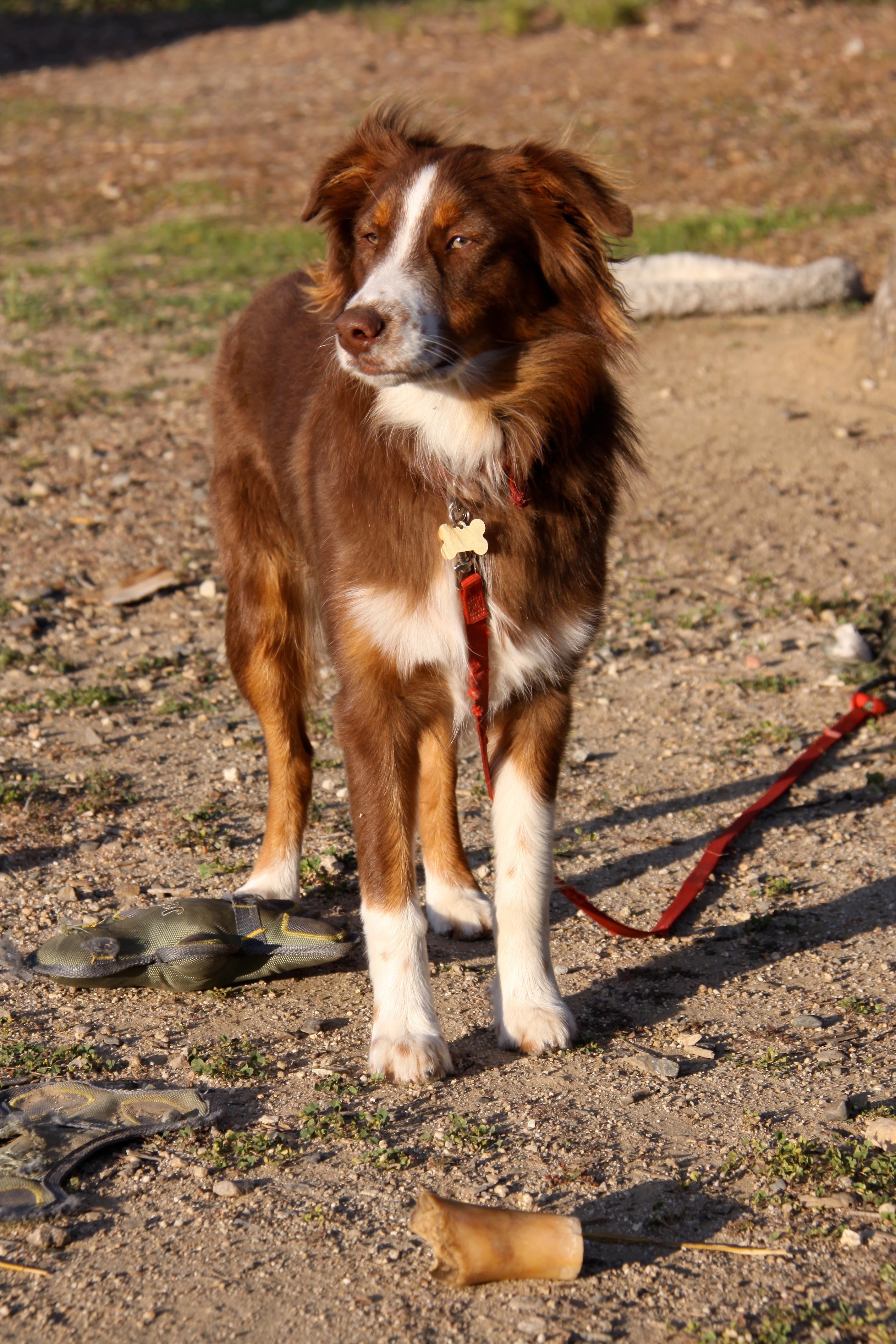 Australian Shepherd Dog Picture #4603