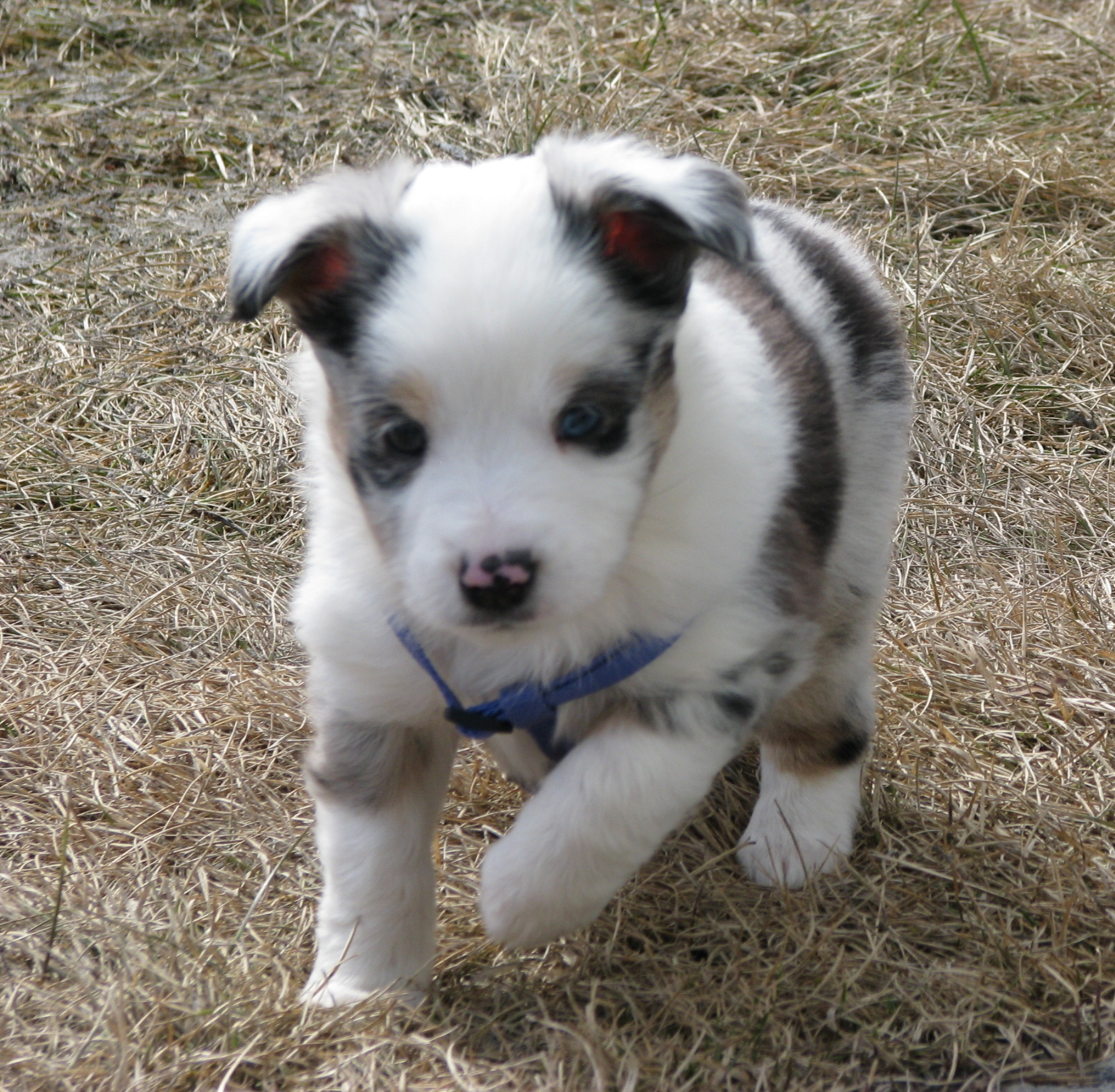 Australian Shepherd Dog Picture #5499 | Pet Gallery | PetPeoplesPlace ...