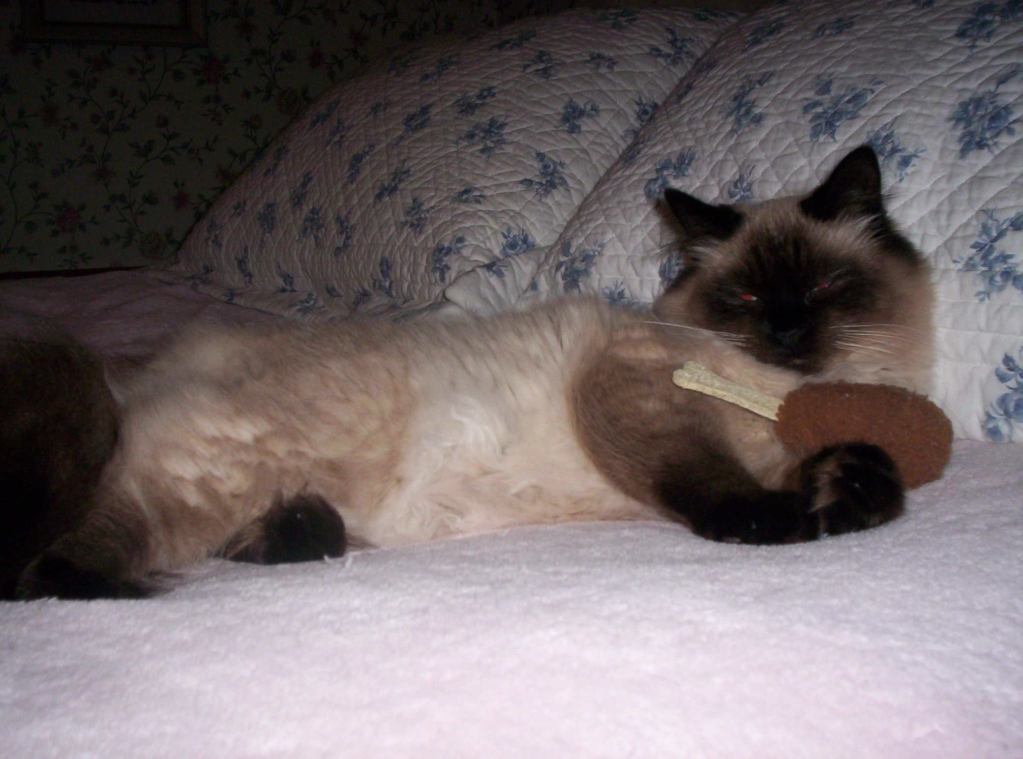 siamese cat rescue northern california