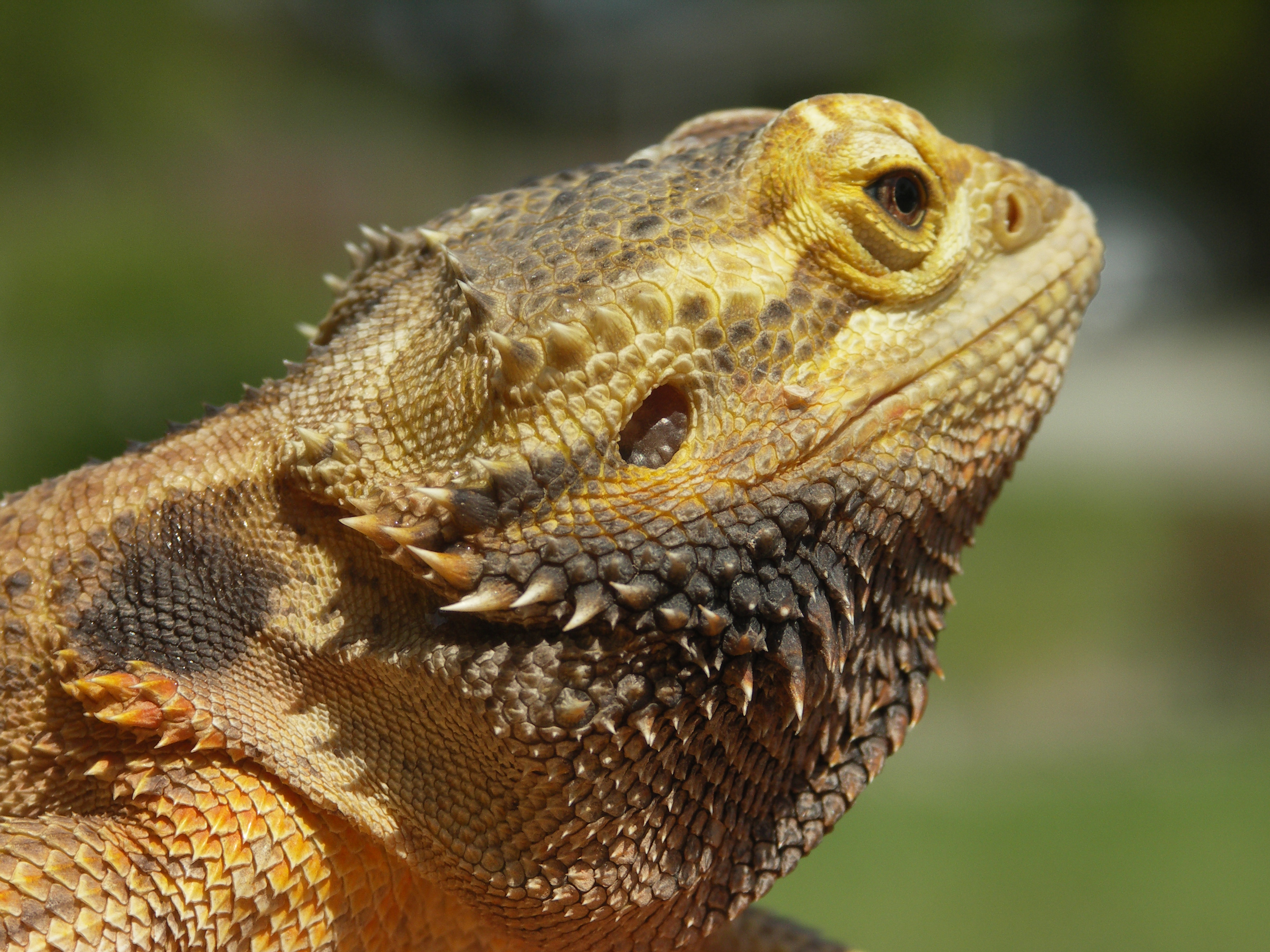 K Dragon Lizard Bearded Dragon Lizard ...