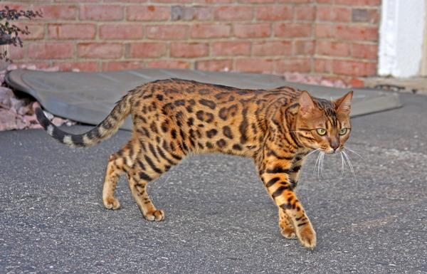 Bengal cat size weight