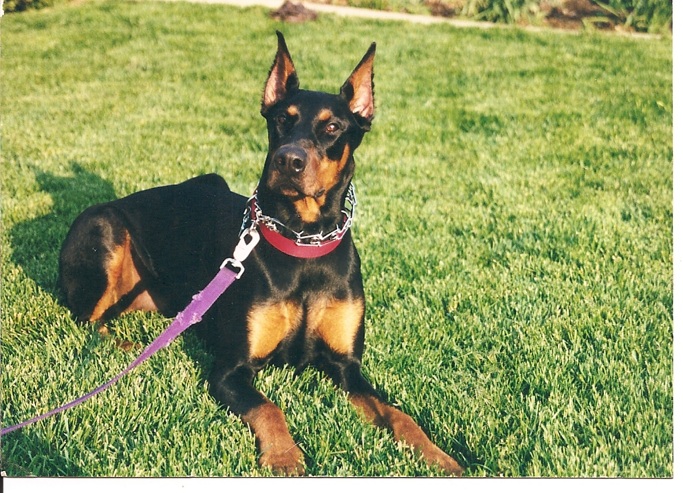 Doberman Pinscher Dog Picture #2890 | Pet Gallery | PetPeoplesPlace ...