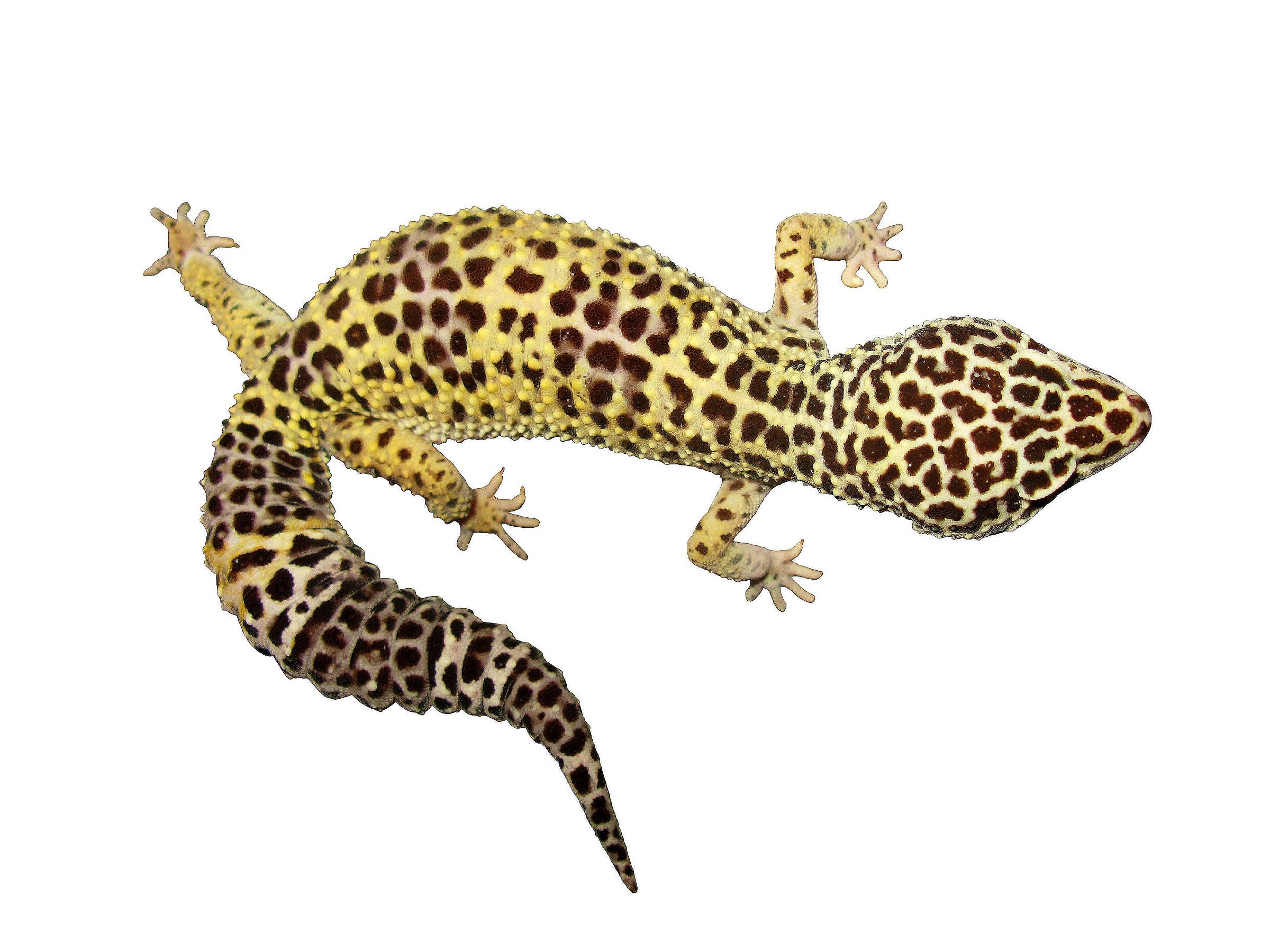 gecko lizard picture 3653 pet gallery petpeoplesplace com