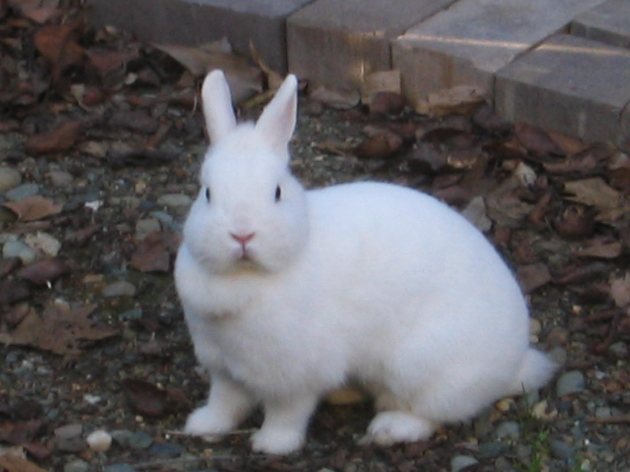 Pics For > White Mini Rex Rabbits