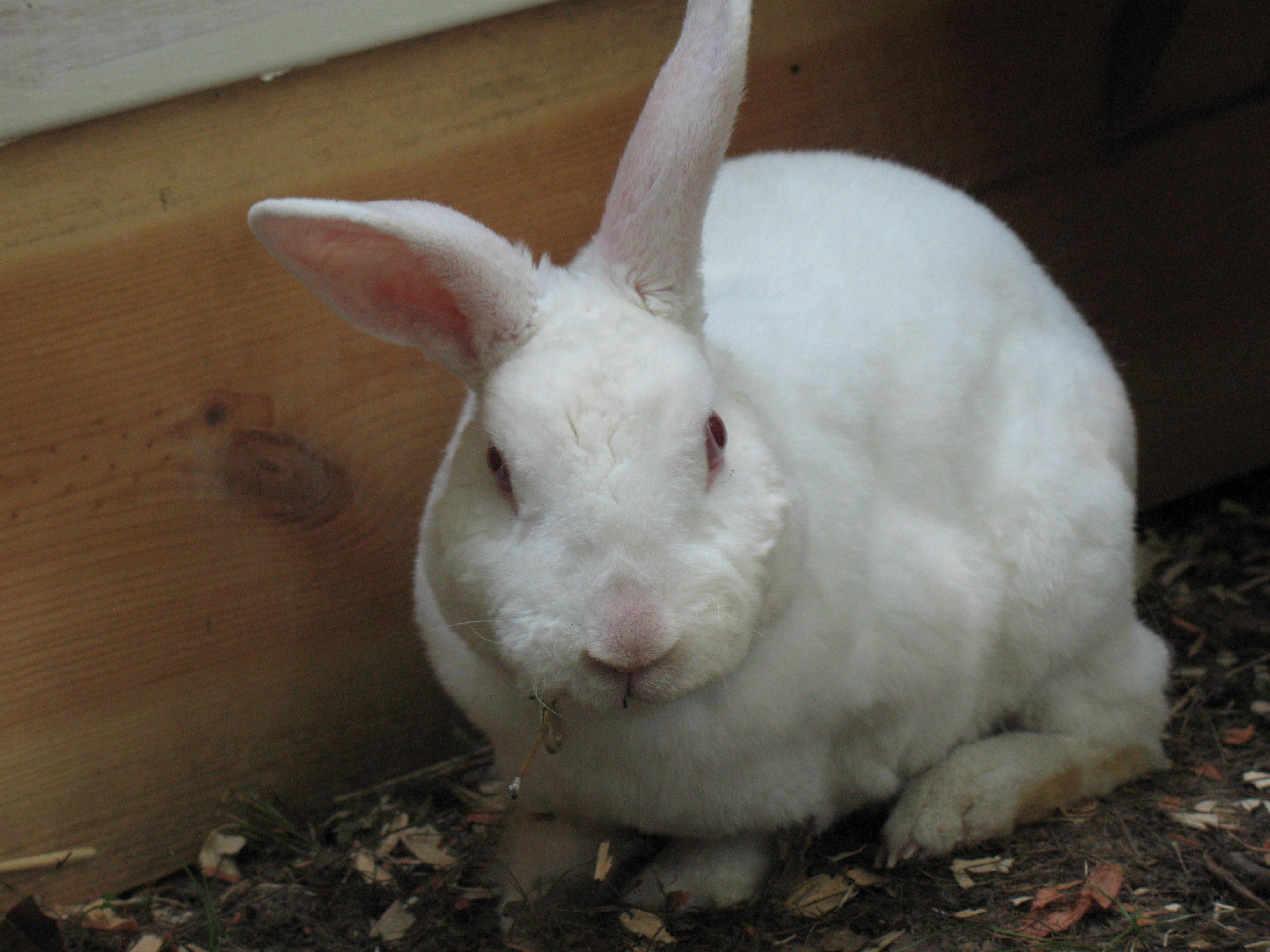 Miniature Rex Rabbits
