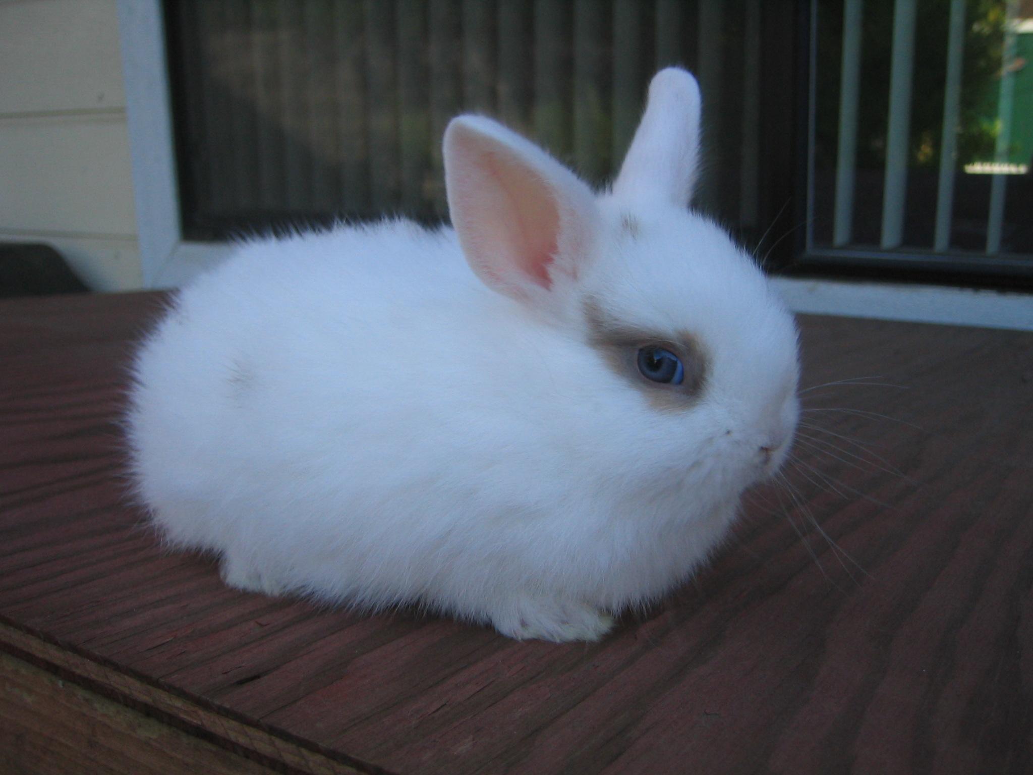 Rex vs Mini Rex Mini Rex Rabbit