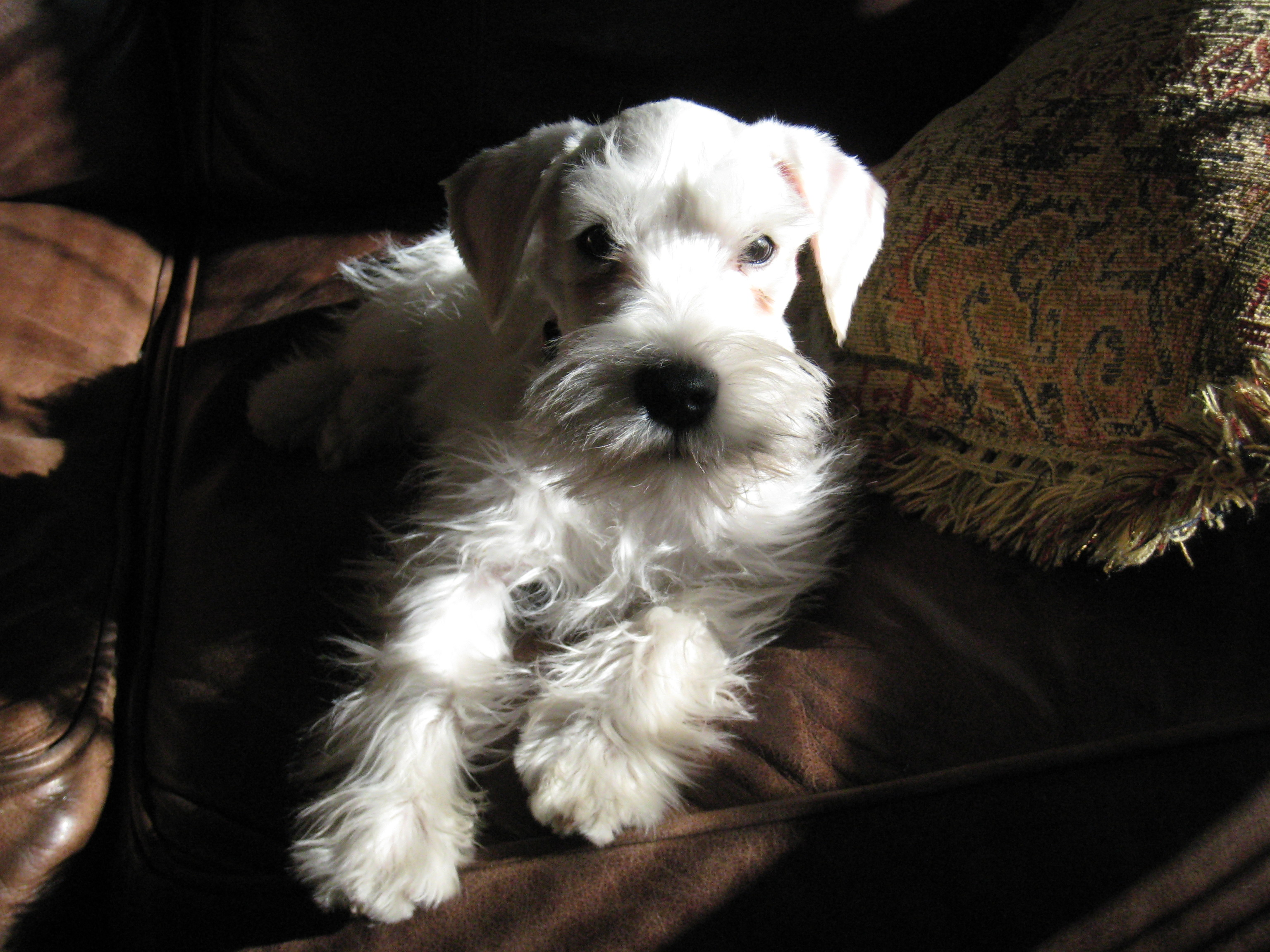 Miniature Schnauzer Dog Picture #4825 | Pet Gallery | PetPeoplesPlace ...