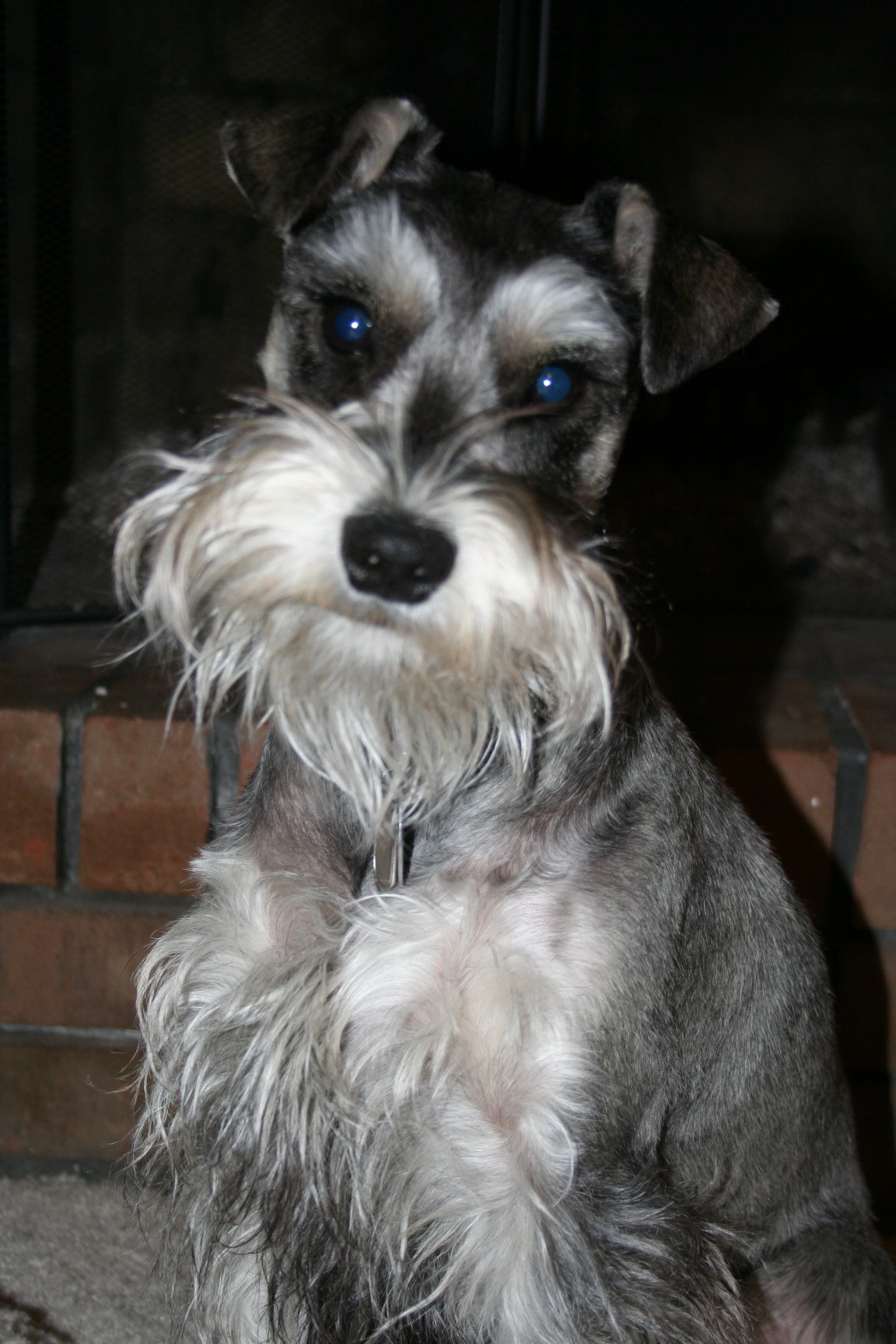 Miniature Schnauzer Dog Picture #2264 | Pet Gallery | PetPeoplesPlace ...