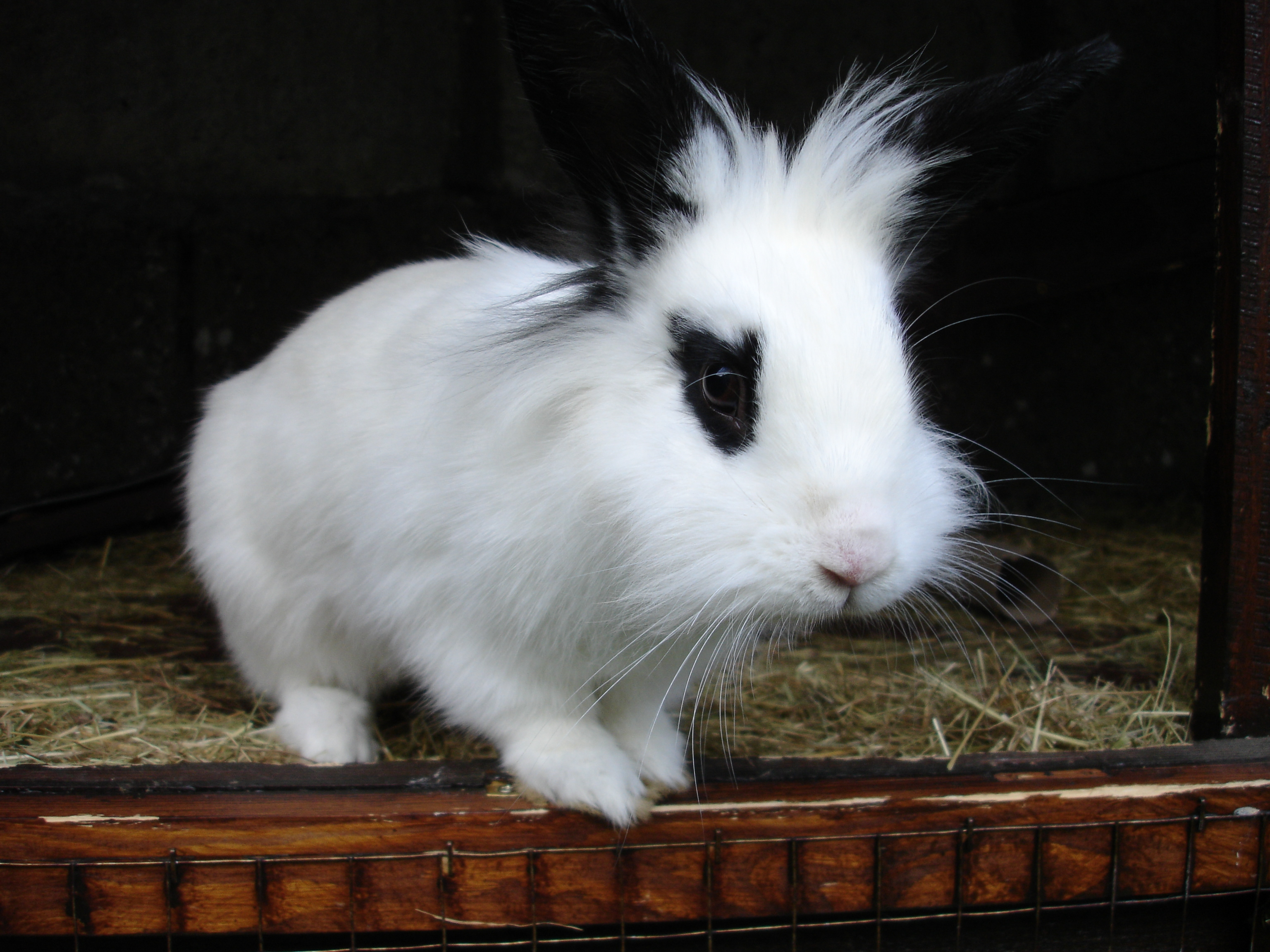 rabbit breeds essay The netherland dwarf rabbit saw its first steps in holland when a group of five men, led by jan meyering, worked for 30 years to develop a standardized small rabbit that would be accepted and available in a variety of colors to create this breed, they bred all-white hermelin rabbits with local.