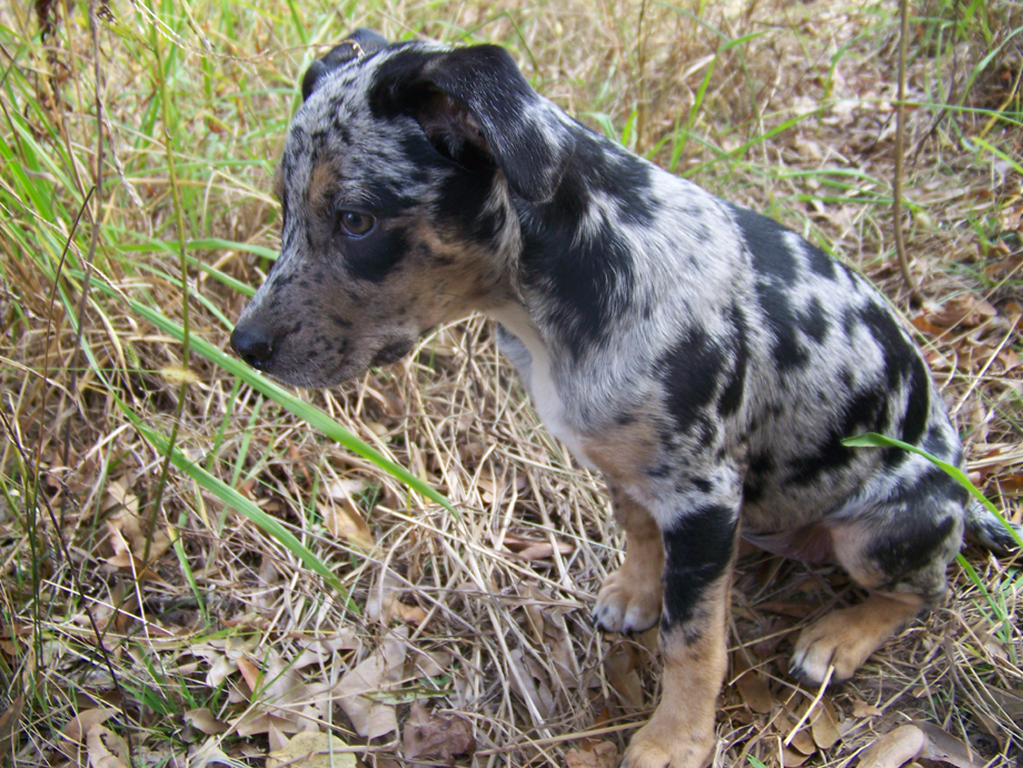 Red leopard catahoula