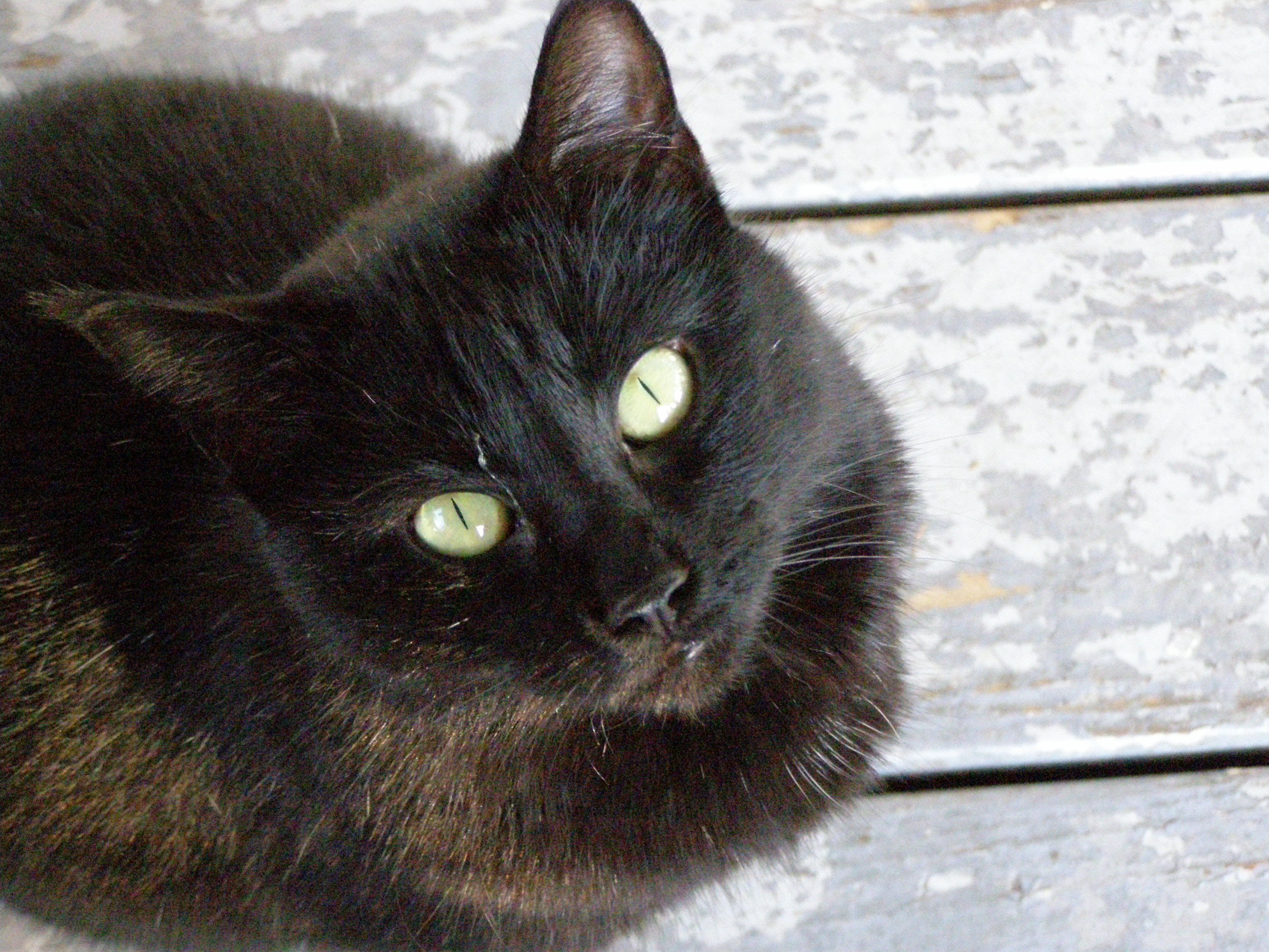 Breeds of Cats With Pictures Black Mixed Breed Black Cat
