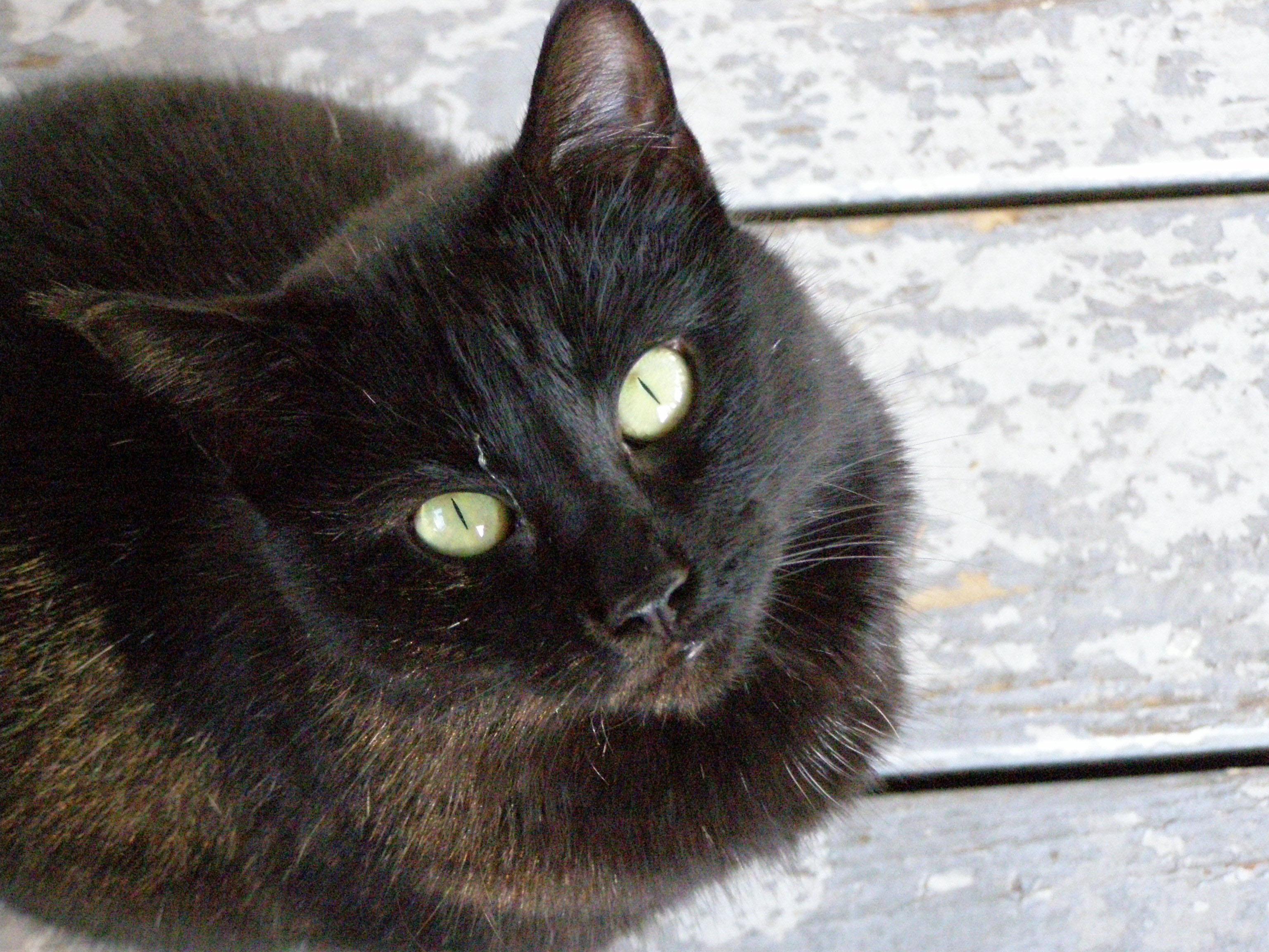 Ragdoll black cat breeds