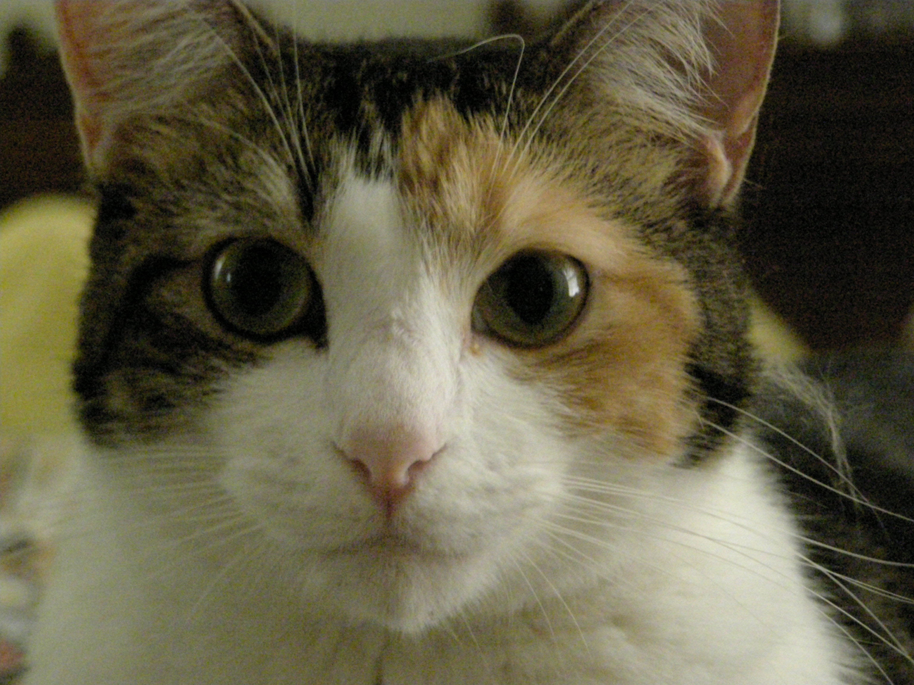 Mixed Breed Calico & Tortoiseshell Cat Picture 6491