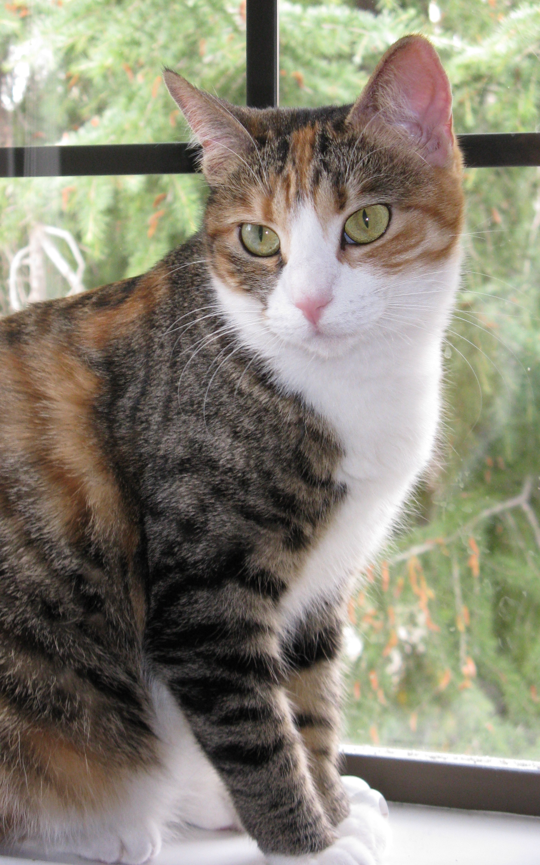 Mixed Breed Calico & Tortoiseshell Cat Picture 3351