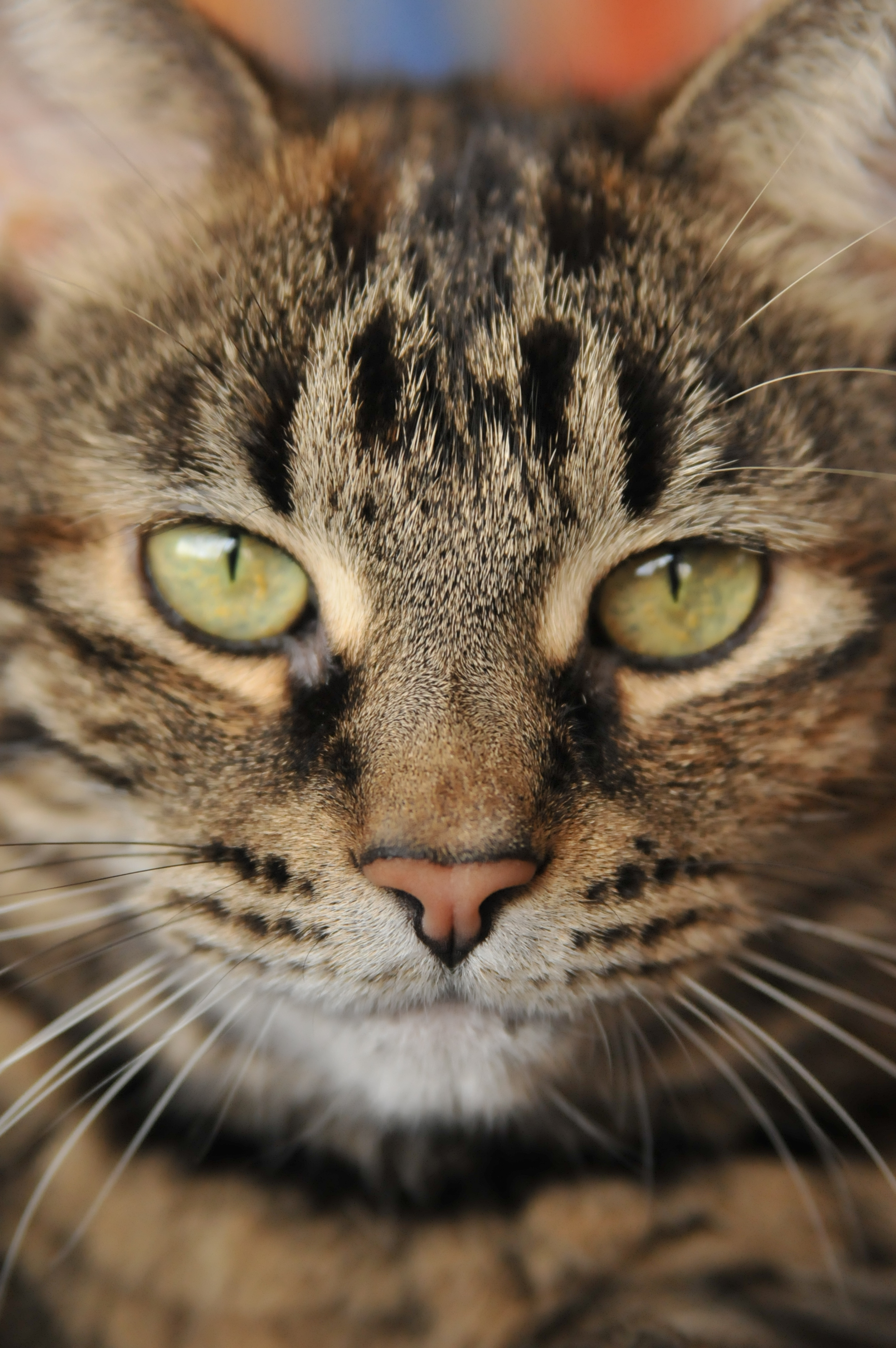 Bengal cat mixed with tabby hd beautiful bengal x tabby kittens