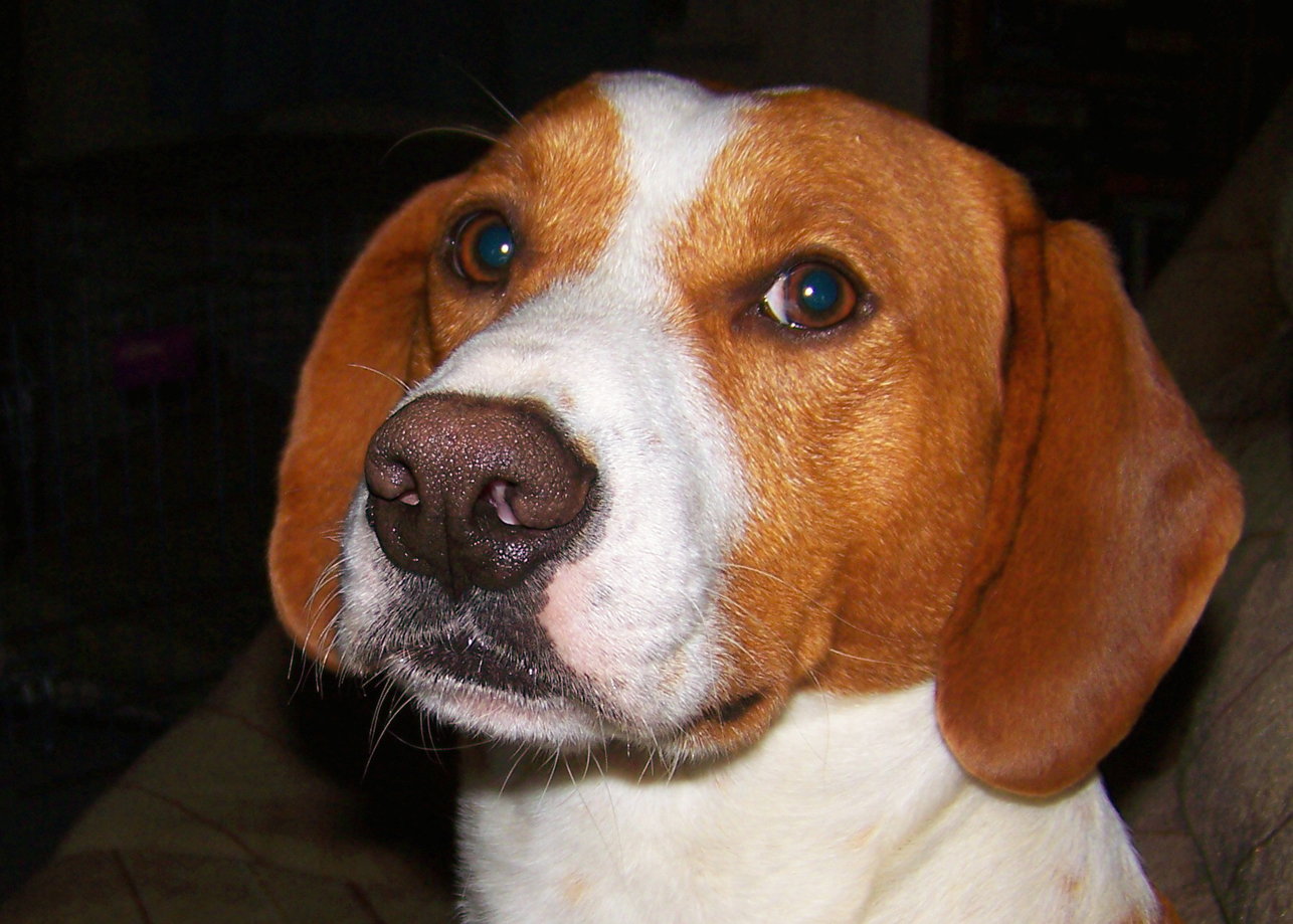 English Pointer Puppy Dogs & Cats in Lethbridge, Alberta Classifieds