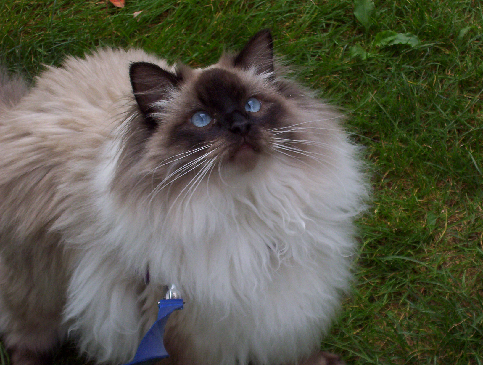 Ragdoll Cat Picture 5235 Pet Gallery