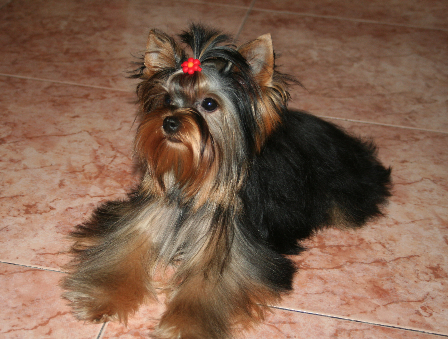 Yorkshire Terrier Dog Picture #4167 | Pet Gallery | PetPeoplesPlace ...