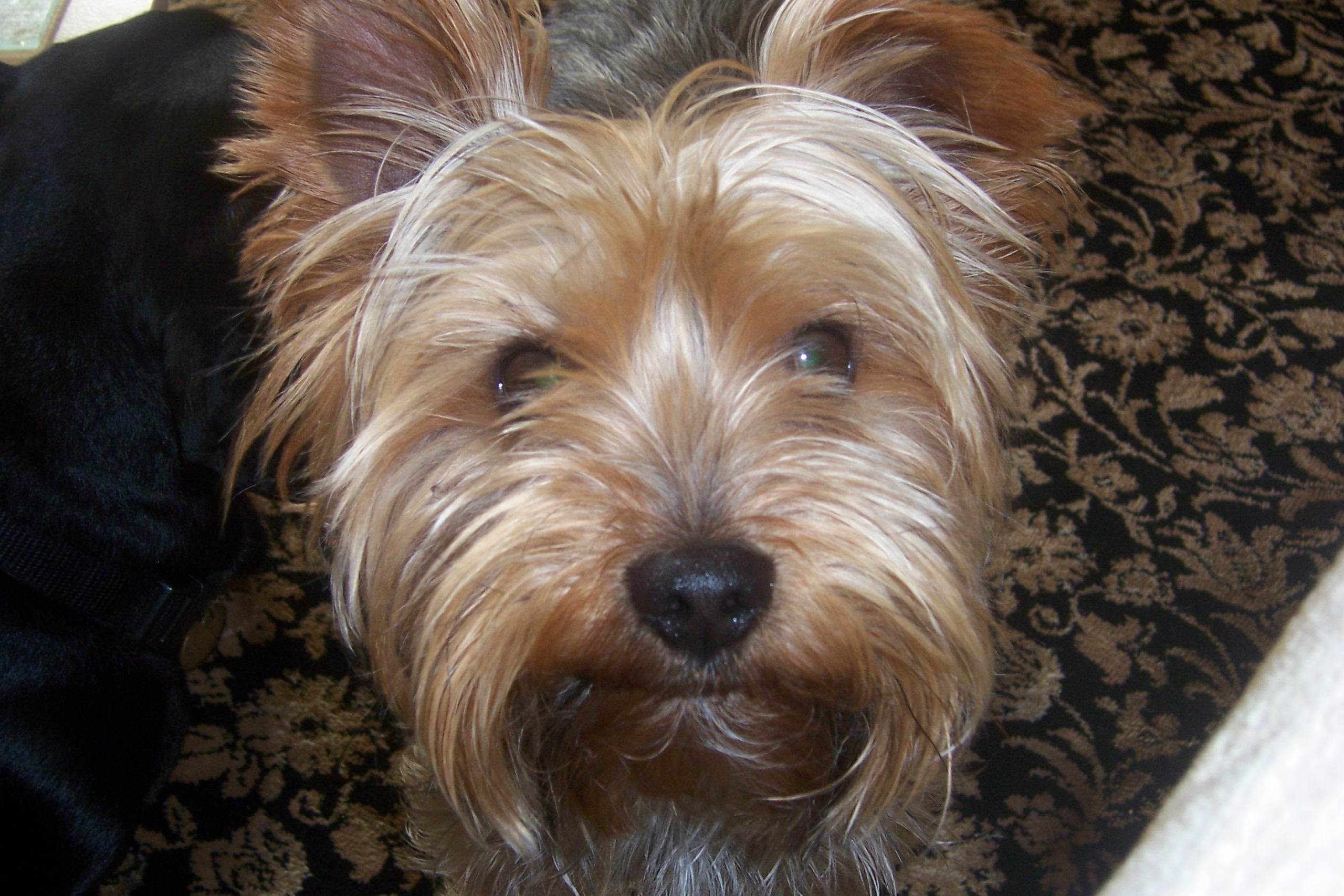 Yorkshire Terrier Dog Picture #2896 | Pet Gallery | PetPeoplesPlace ...