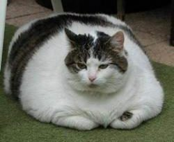 Health Risks for Overweight Cats