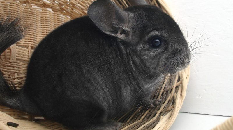 How to Care for Your Pet Chinchilla