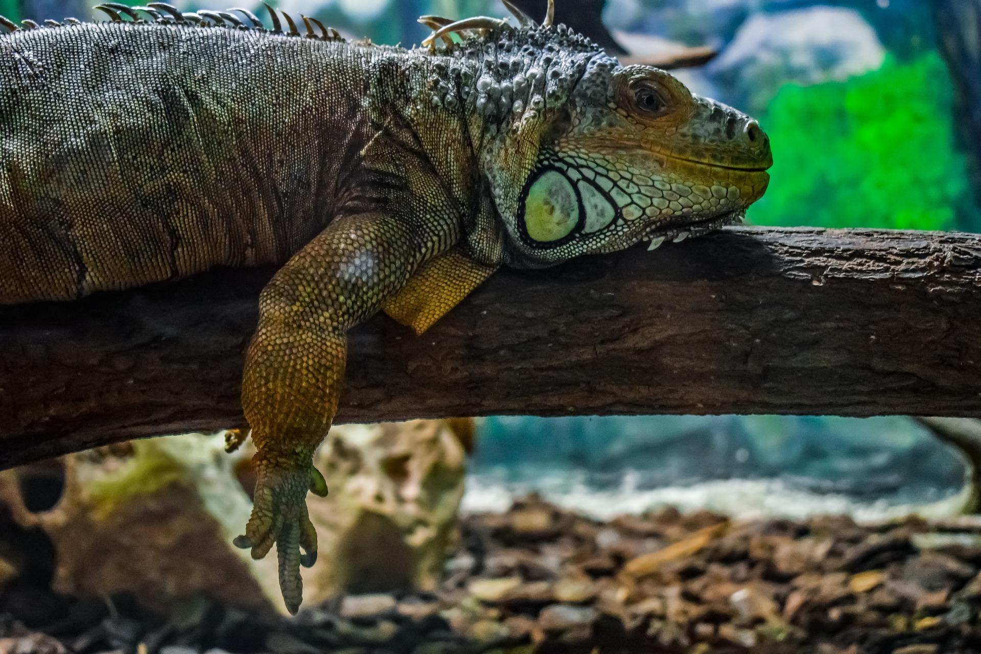 Do Iguanas Make Good Pets