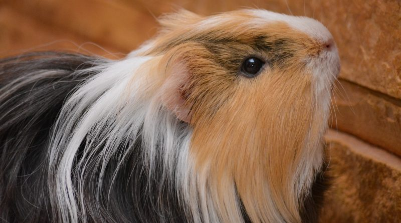 6 Reasons to Consider Getting a Pet Guinea Pig