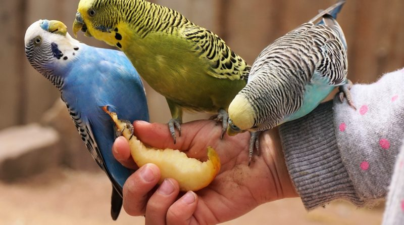 Caring for Your New Pet Parakeet