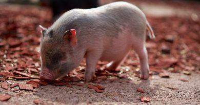 Do Pot-Bellied Pigs Make Good Pets?
