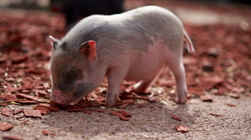 Do Pot-Bellied Pigs Make Good Pets?