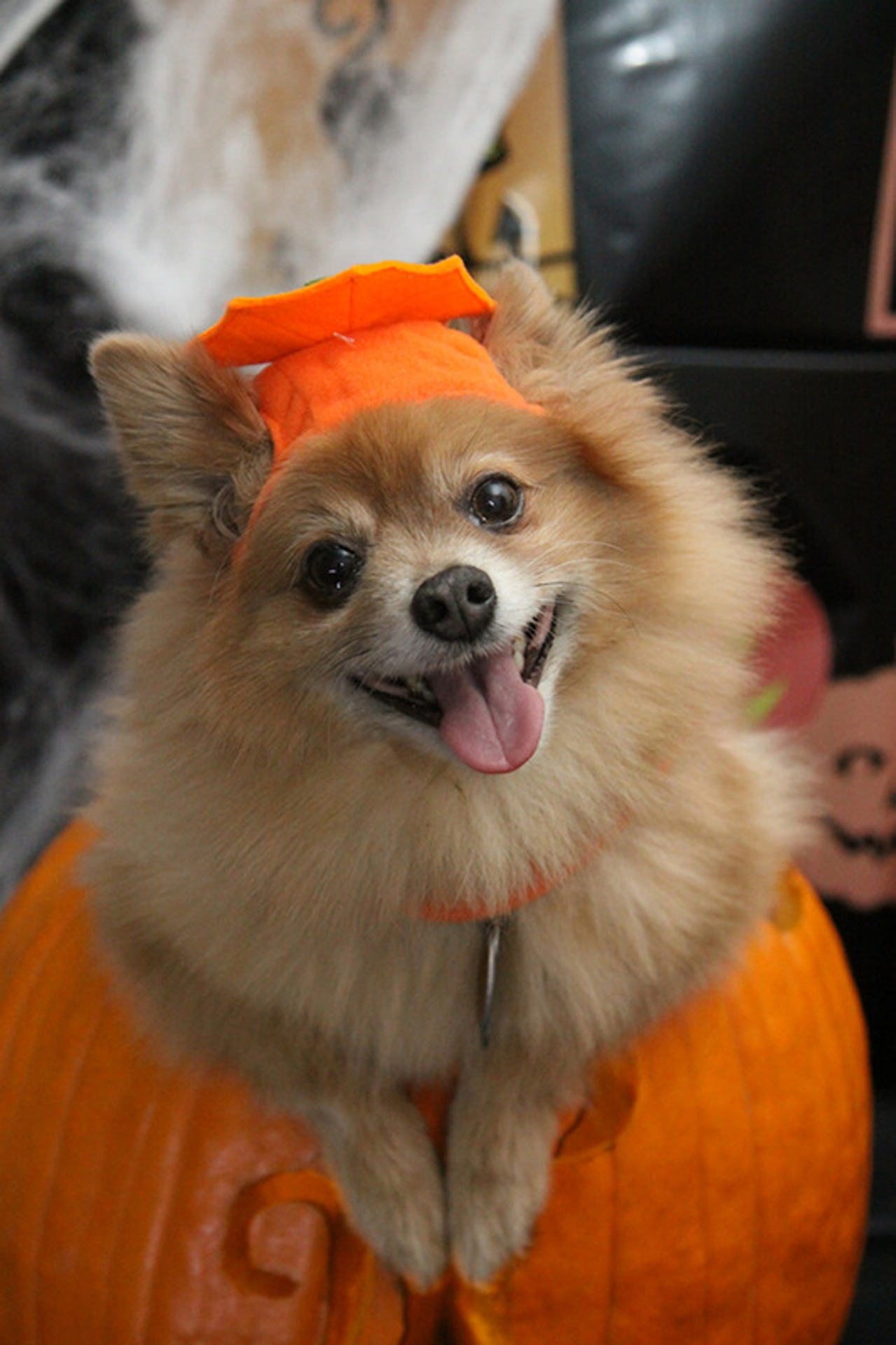 Trick or Treating with Your Dog (Is it a Good Idea?)