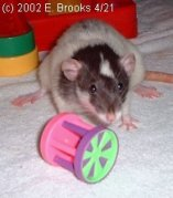 Rat Playing