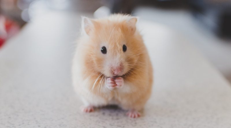 How to Keep Your Pet Hamster Healthy