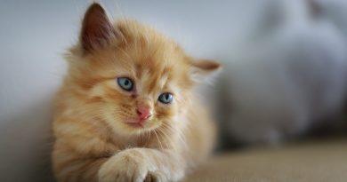 Feline Upper Respiratory Infections (How to Help)